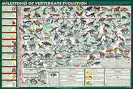 Vertebrate Evolution Poster
